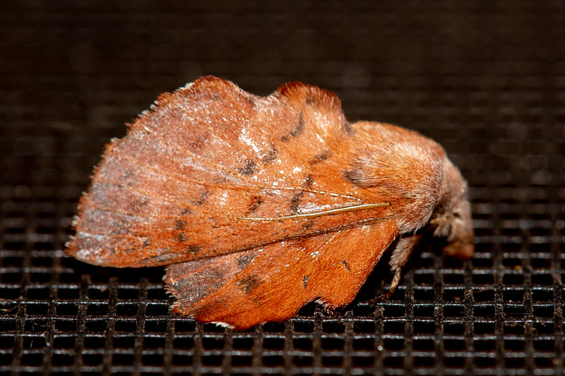 This American Lappet Moth is perched with its wings folded up in a tent shape.  When its wings are spread out, it has a wingspan of 1¼ -2 inches.  It is also found over much of North America.