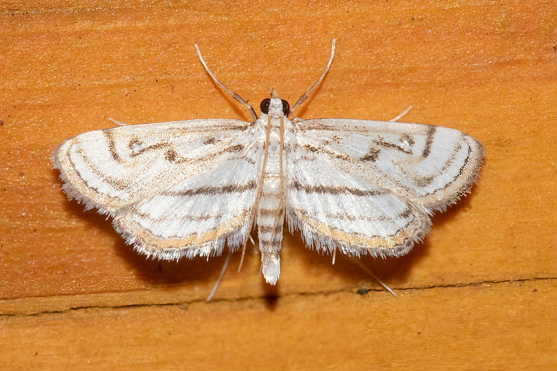 This tiny Chestnut-marked Pondweed Moth has a wingspan of only ¾ inch.  It is found in southeastern Canada and northeastern United States.  Ponds, marshes, and lakeshores are good places to find this moth.  True to its name, the caterpillar does eat pondweed.