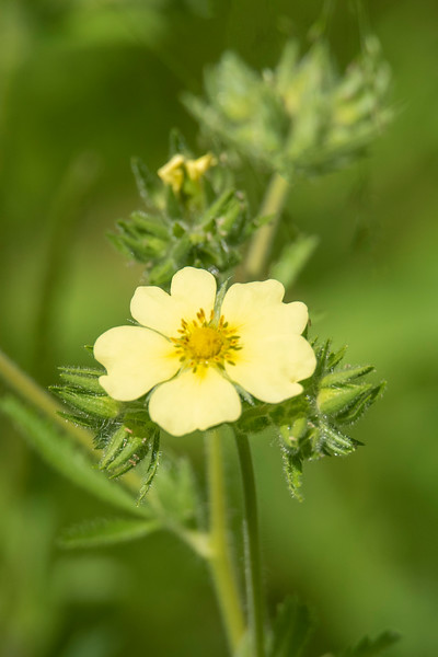 This is Tall Cinquefoil, another native plant and also found in many of the lower 48 states.