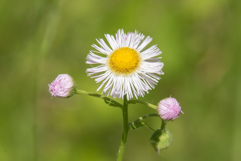 Daisy Fleabane is another plant that just showed up on its own.  It's a native plant and is found in 43 of the 48 lower states.  Bees are especially attracted to this flower.