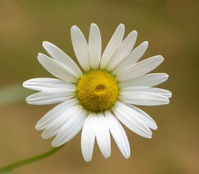 Ox-eye Daisy is not something we planted, but it is so common in Minnesota that it was bound to show up on its own.  It's a pretty flower, but it's also considered an invasive species.  Our garden is so densely packed with native species that a few Daisies will not be a problem.