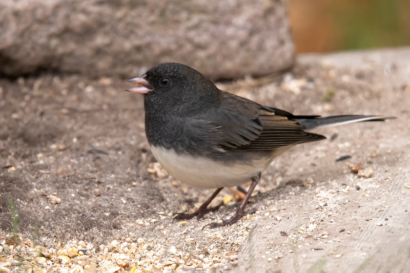 Every fall, we have flocks of Dark-eyed Juncos stopping in our yard as they migrate from their nesting areas across Canada to their winter homes on the plains of the lower United States.  <br /> <br /> In the 1970s, five separate species of Juncos were combined into one species, now called Dark-eyed Junco.  There is wide variation in the appearance of the five species, so they are still referred to as groups within the Dark-eyed Junco species.  To make things even more difficult, each group has several sub-species within it.  In Minnesota, almost all the Juncos we see are in the Slate-colored group.  This one has a very dark upper body contrasting with its white belly, identifying it as an adult male.
