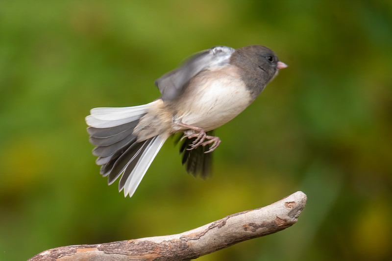 This photo clearly shows the white outer tail feathers on either side of a Junco's tail.  That explains the flash of white that is seen as a Junco flies away.