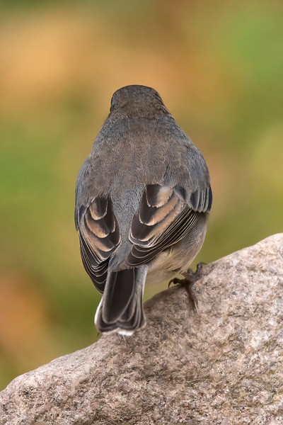 This photo shows the tan edges of the Junco's wing feathers.
