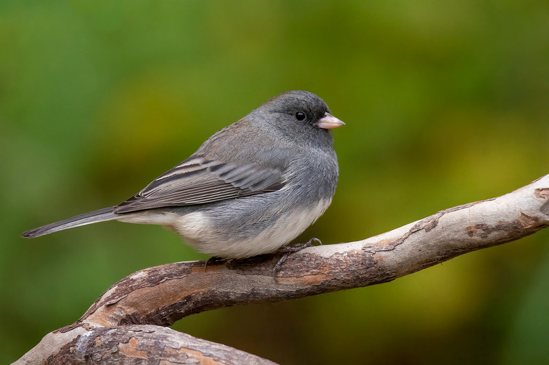 I keep records of the birds we see at our lake home, and I have noticed an interesting pattern.  Usually the week after our hummingbirds leave, we start to see Juncos.  That pattern was again true this year.