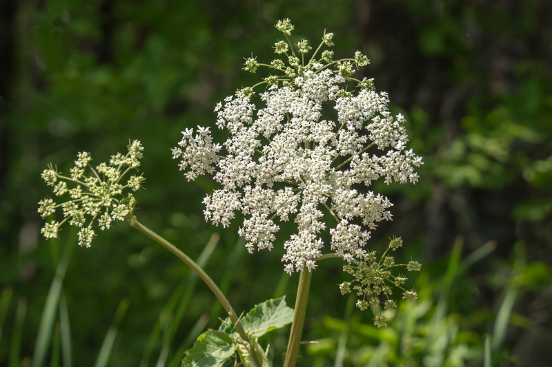 Cow Parsnip has a very sturdy stem and can grow as tall as seven feet. It has large clusters of flowers up to eight inches across.  It's actually a member of the carrot family and is common along roadsides in our area.  This photo was taken along Itasca County Road 325.