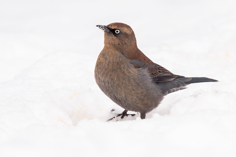 "The award for ""Best Bird of the Week"" goes to this female Rusty Blackbird.  They are not rare, but we seldom see them in our yard.  She would normally be feeding at the edge of a swamp, but those areas are now covered with snow.  That's probably why she's taking advantage of the seed dropped from our bird feeders."