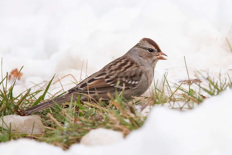 This is a first-winter White-crowned Sparrow. By next summer it will have adult plumage with black and white stripes on its head.