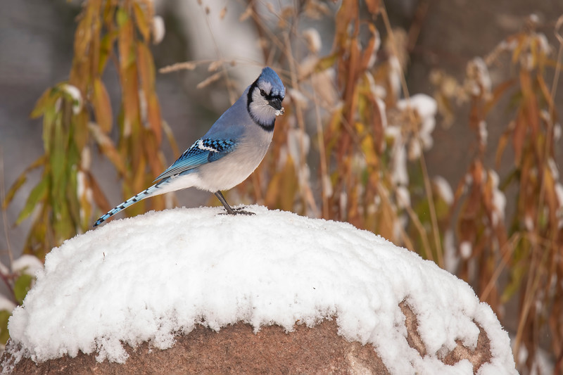 Our year-round birds (Chickadees, Nuthatches, Woodpeckers, and Blue Jays) are reacclimating themselves to a landscape covered in white.  Much of their natural food is under the snow, so they are now more regular visitors to our bird feeders.