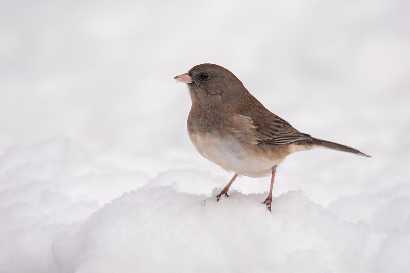 Dark-eyed Juncos are still around, and their numbers have increased.  This week we've had as many as 25 of them at a time.