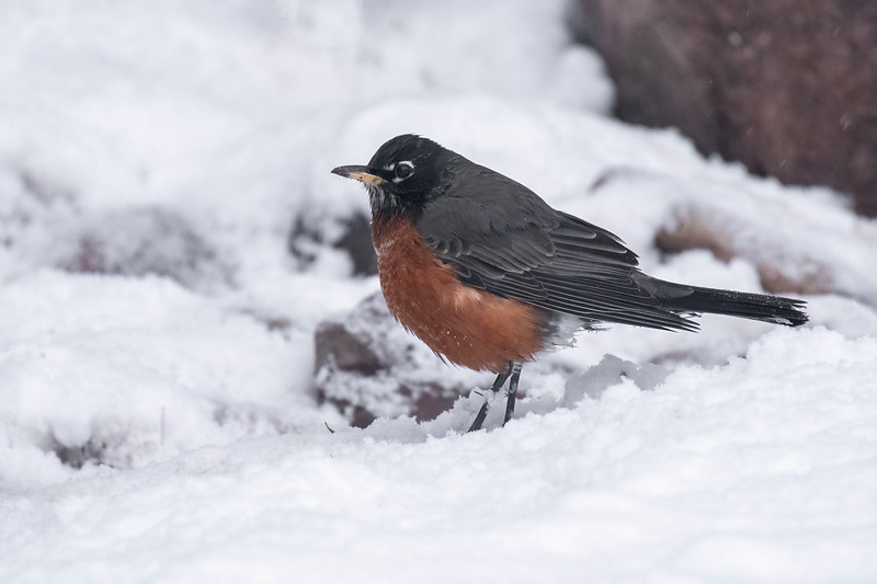 This poor American Robin looks out of place with snow on the ground.  We're used to seeing it hopping around the lawn pulling worms out of the ground.  It will probably migrate south, but for now, it's most likely eating crab apples and other fruit.