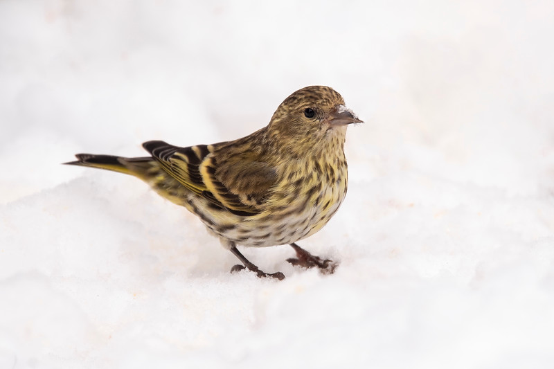 This is supposed to be a good year for seeing Pine Siskins.  They arrived this week and we are now up to four of them.  It's a good thing we have a thistle feeder because that's one of their favorite foods.