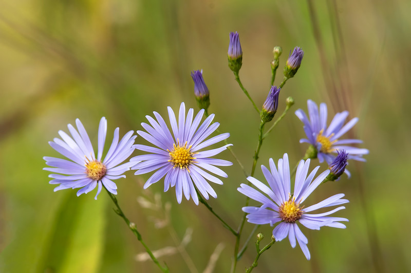 Most of the flowers in our wildflower garden are faded by now, but the garden is sprinkled with blue from the fall blooming asters.
