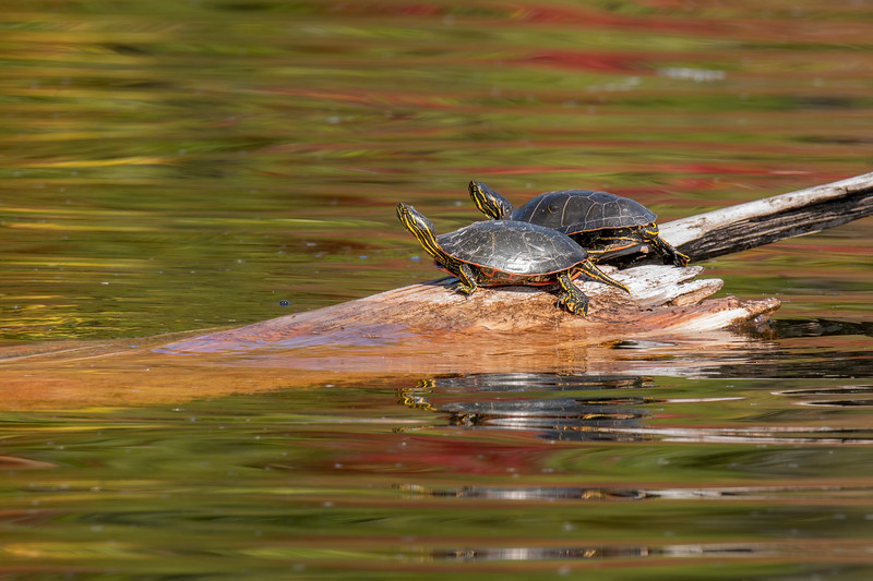 We took a boat ride around the lake and found these Painted Turtles sunning themselves on a submerged log.  The colorful leaves along the shore were reflected in the ripples on the water.