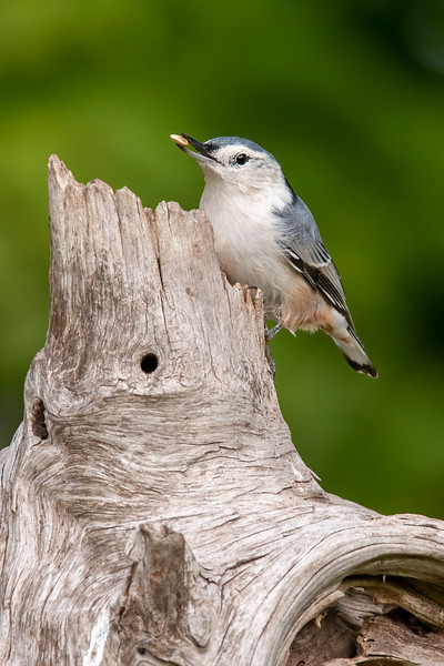 We also have White-breasted Nuthatches in our yard.  The same male/female head feather rule applies to them as it does to the Red-breasted Nuthatches.  This one has gray feathers on top of its head, so it is a female.