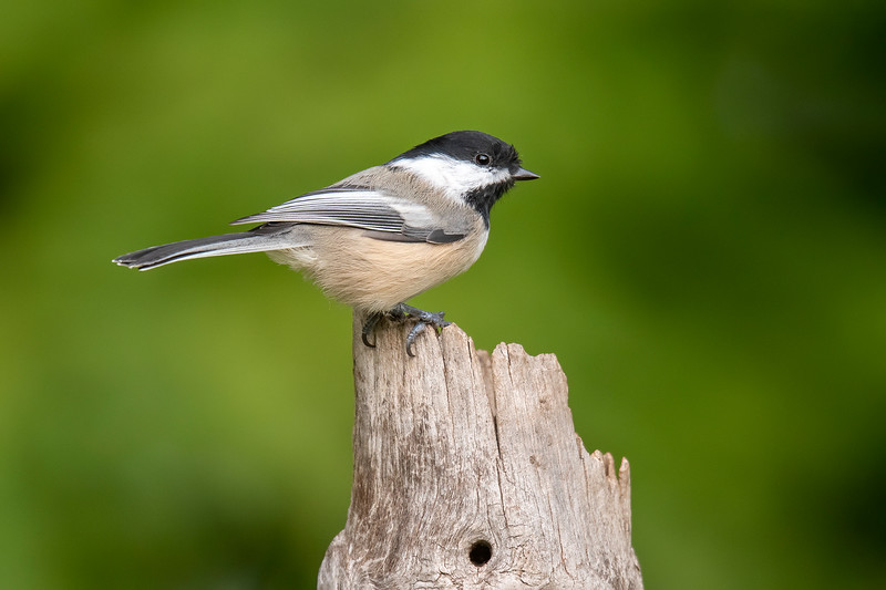 Black-capped Chickadees just love golden safflower seed.  One after another they will land on the feeder, grab a seed, and fly away with it, only to be immediately replaced by the next hungry Chickadee.