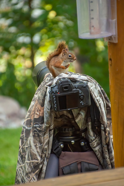Here is a photo of my camera setup for taking these photos.  When I came inside to take a break, this curious Red Squirrel wanted to see what I had been up to.