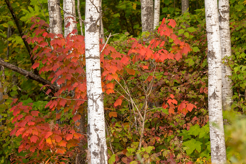 Here's another view from County Road 48 with a more muted set of red maple leaves.