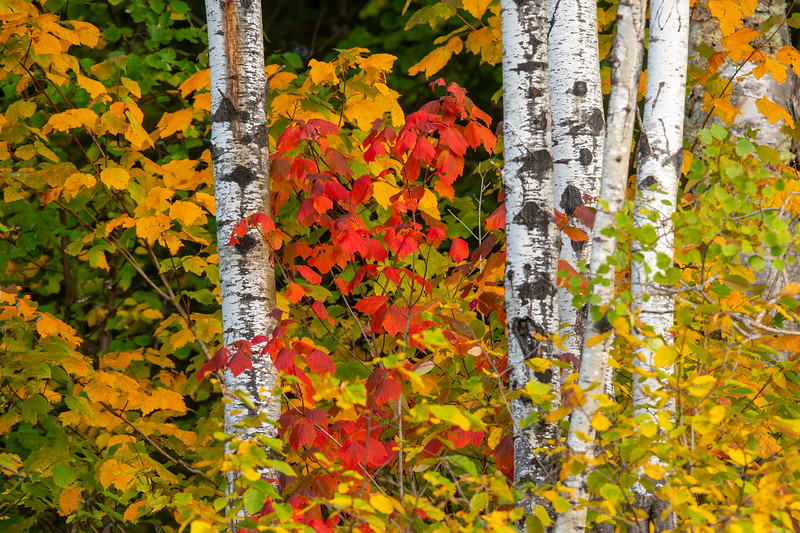 One morning I was birding along Cook County Road 48 and came across this colorful combination of white birch trunks with red and yellow leaves around them.
