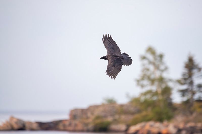 Here's a Common Raven flying around the Grand Marais harbor.