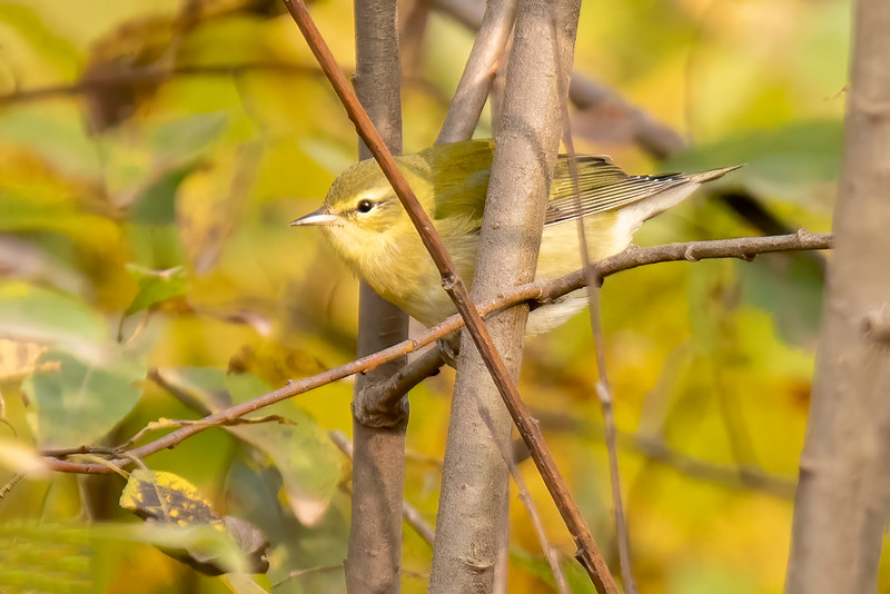 Another plain-looking bird is this Tennessee Warbler.  I saw it along Forest Road 158, another great birding spot.