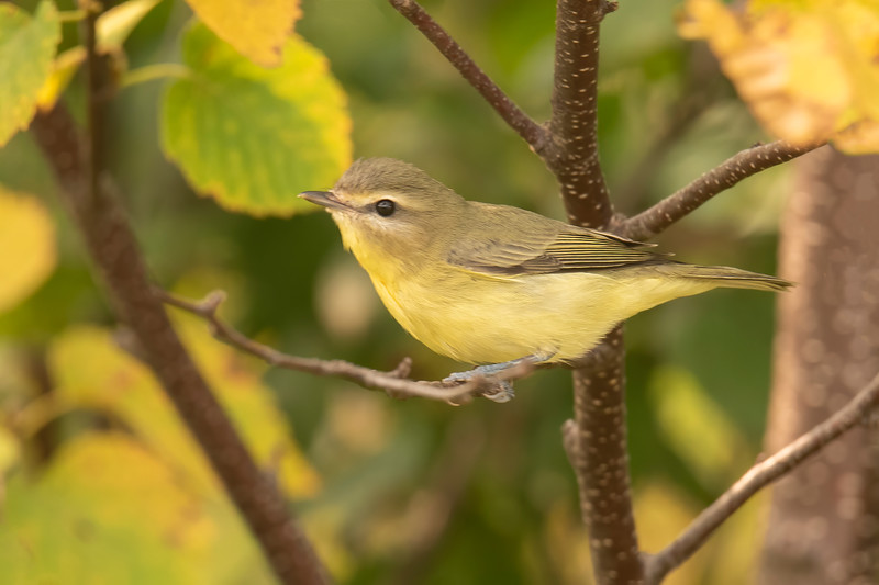 I also found this Philadelphia Vireo on the Lima Mountain Road.  Vireos are very plain-looking birds.  The gray cap, white line above the eye, gray line through the eye, and the brighter yellow on the throat are the features that identify this bird.