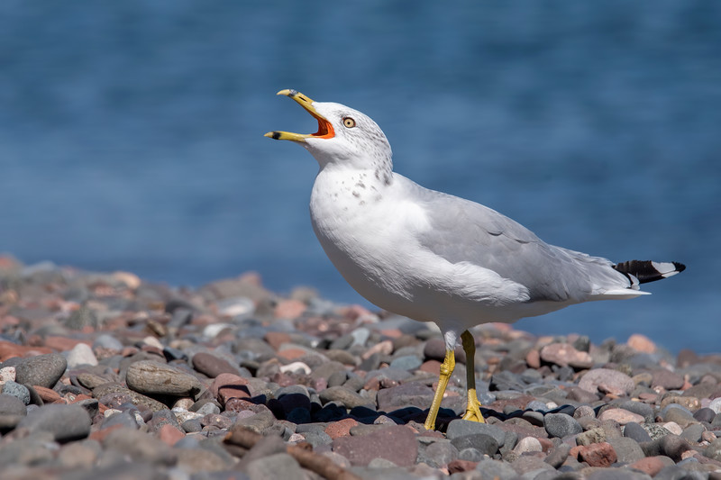 This gull was giving its raucous call as I photographed it.  Notice the bright red lining on the inside of the mouth.