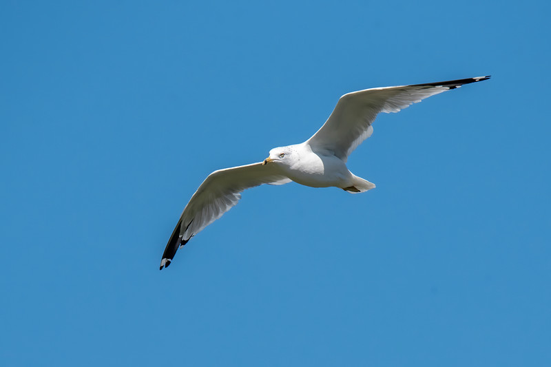 Last Wednesday, Diana and I took a day trip to Two Harbors, MN, which is a port city along the North Shore of Lake Superior.  Almost all the birds along the shore were Ring-billed Gulls so I took pictures of some of them.