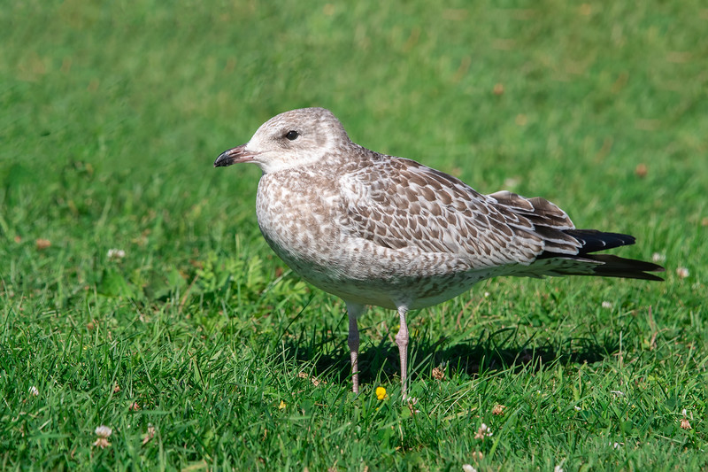This is a juvenile Ring-billed Gull.  It would have hatched this summer.  Its brown speckled plumage will take two years to gradually change to the gray and white plumage of an adult.