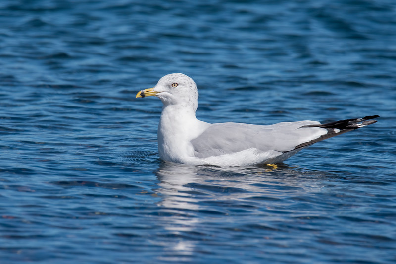 Most of the gulls were lounging on shore, but a few of them were out on Lake Superior.