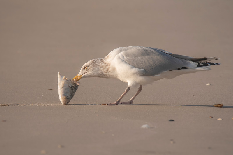 Here's an adult Herring Gull with the head of a fish.  Gulls will eat just about anything!