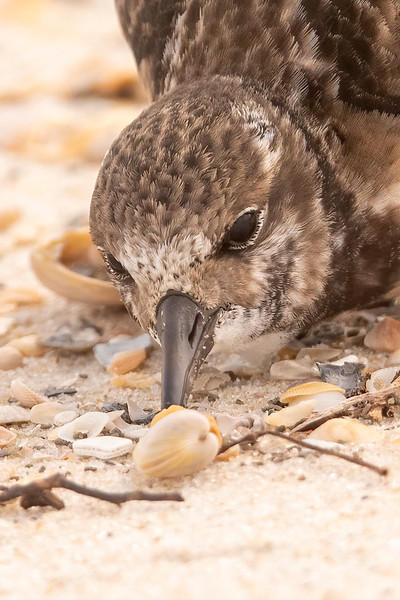 I finally figured out what was going on.  Almost 100% of the shells on a beach are empty, but this bird found THE ONE shell that still had its original occupant, and the Turnstone was going to eat it.