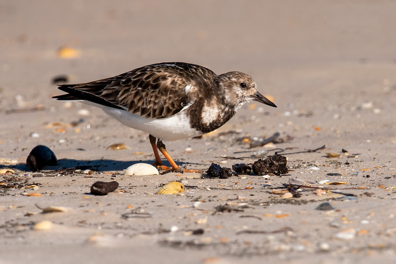 This is a Ruddy Turnstone, a bird often seen running along the beach picking up tiny things to eat.