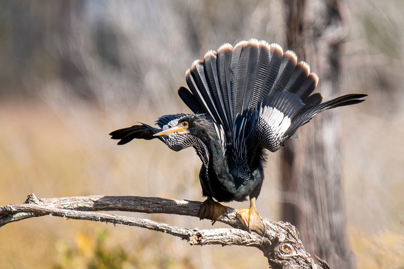 I had never seen an Anhinga lean forward, spread its wings, and fan out its tail.  But now I know why the online resource Birds of the World says this bird used to be called a Water Turkey.