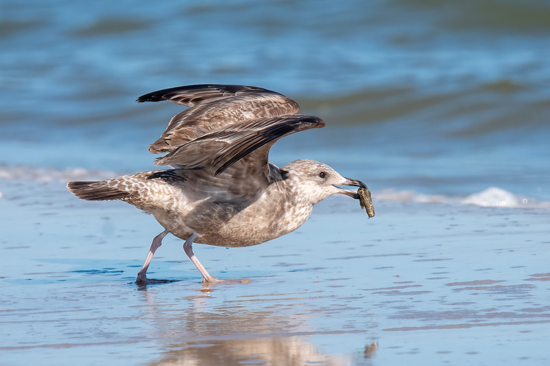 Here are some interesting bird photos I took while we were in Florida this winter.<br /> <br /> This juvenile Herring Gull was taking off with some food item it found on the beach.  If you recognize the food item, I'd appreciate getting an email letting me know what it is.  earlorf@uslink.net