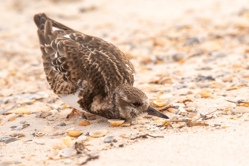 But this Turnstone got into an unusual position, almost lying down on the sand.
