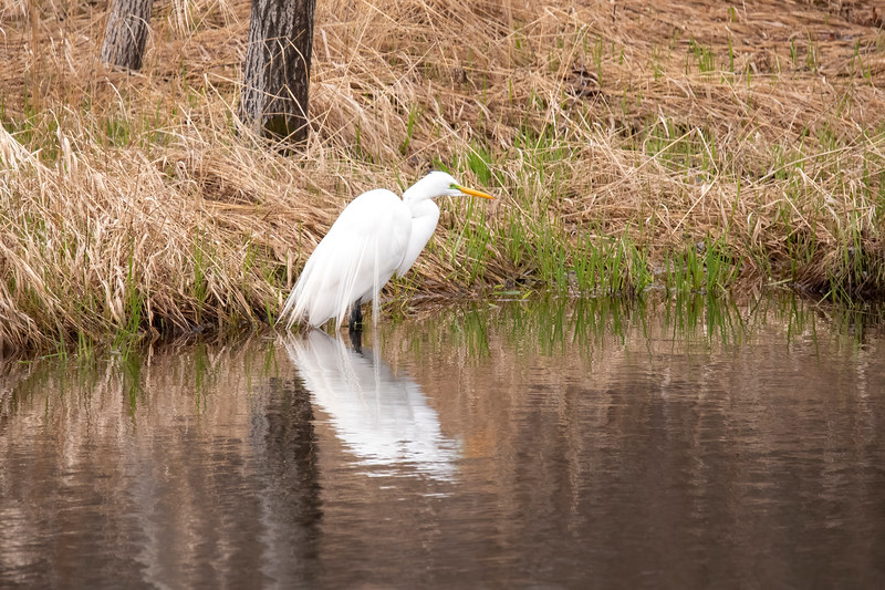 I was on my way home, driving on Otter Lake Road, when I spotted this Great Egret wading in a shallow pond.