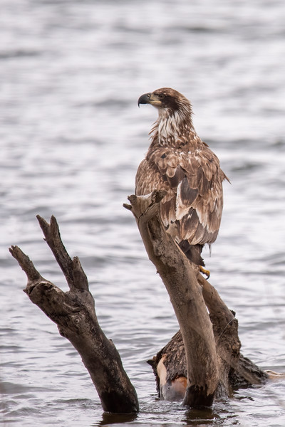 After visiting several other spots, I stopped at Lake Josephine in Roseville.  I was pleasantly surprised to see a juvenile Bald Eagle sitting on a stump right near the shore.