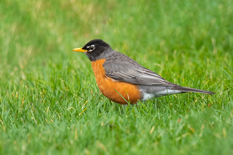 When I arrived home, there were several American Robins on the lawn.  They were looking around for insects and worms.  Many people use their first Robin sighting of the year as a sign of spring.  That may have to change, because now there are Robins that stay in Minnesota all winter.