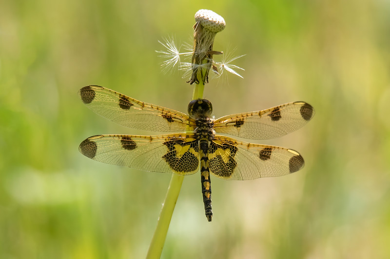 If you notice the similarity between this dragonfly and the last one, that's because this is the female Calico Pennant.  She has yellow markings where the male has red ones.