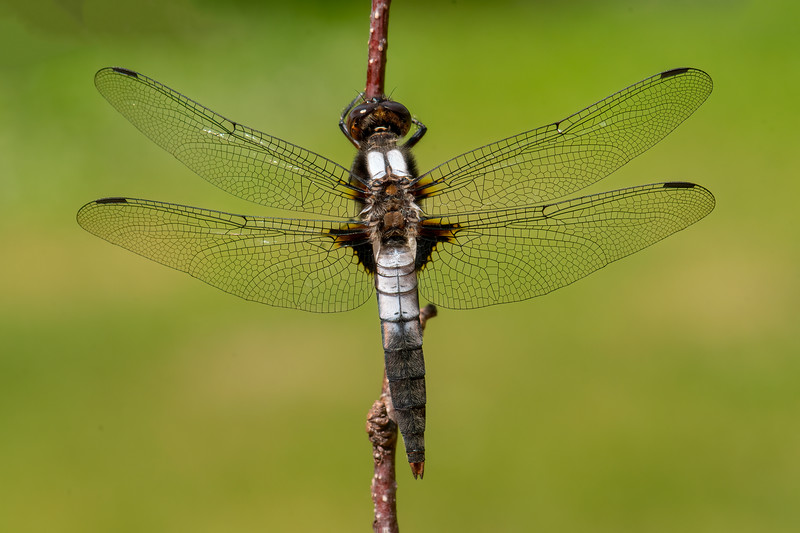 """The two white """"corporal"""" stripes on the thorax and the white segments near the back wings give this dragonfly its name: Chalk-fronted Corporal.  It has a body length of 1.6 inches."""