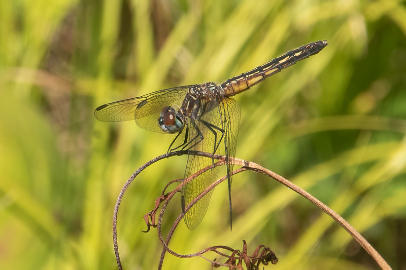 Here's a side view of the Blue Dasher.  Its body length can be from 1 to 1.7 inches.