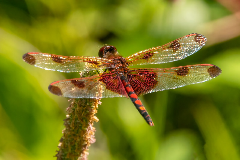 This colorful dragonfly is a male Calico Pennant.  We probably see more Calico Pennants in our yard than any other species.  This dragonfly has a body length of 1.2 inches.