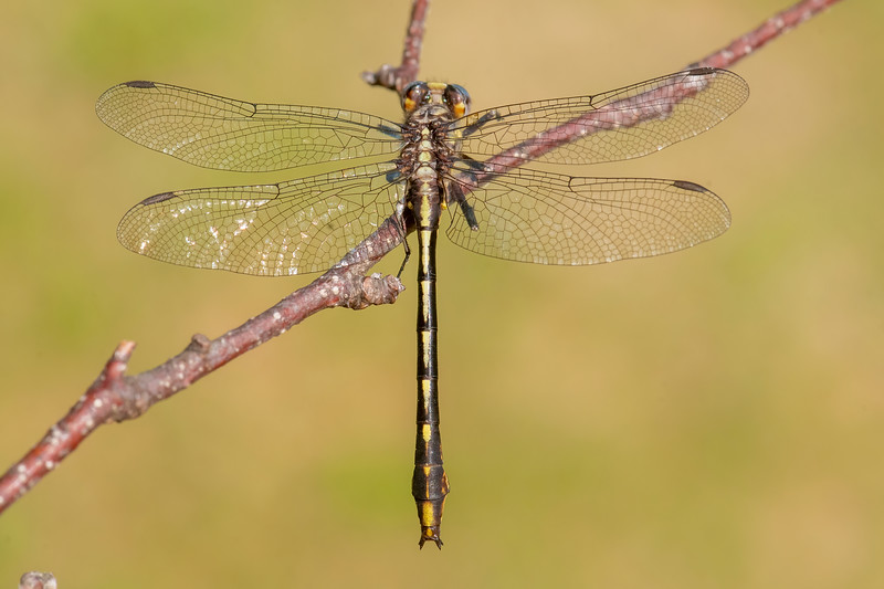 Here are some of the dragonflies that I photographed at our lake home this summer.<br /> <br /> This is a Lancet Clubtail.  The field guide I'm using shows the body length of each species.  For this one, it's about 1.7 inches.