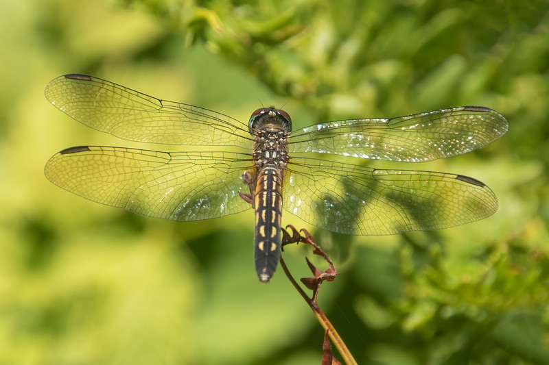 This is a Blue Dasher.  It's either a female or a young male, because it doesn't have a blue thorax like a mature male would have.