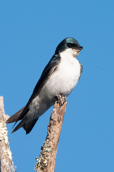 Tree Swallows use our Purple Martin gourds each year, and they again fledged several youngsters.