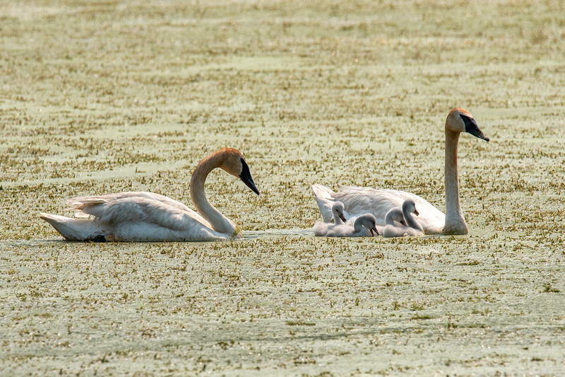 """Now, for a real success story.  I posted photos this summer of a pair of Trumpeter Swans that built a nest in a small pond near our apartment in a St. Paul, MN, suburb.     <a href=""""https://www.earlorfphotos.com/Pictures-of-the-Week/2021-Pictures-of-the-Week/July-4-2021-Trumpeter-Swan-Nest/"""">https://www.earlorfphotos.com/Pictures-of-the-Week/2021-Pictures-of-the-Week/July-4-2021-Trumpeter-Swan-Nest/</a>)  They hatched four eggs.  Here are the juveniles at about 10 days old."""