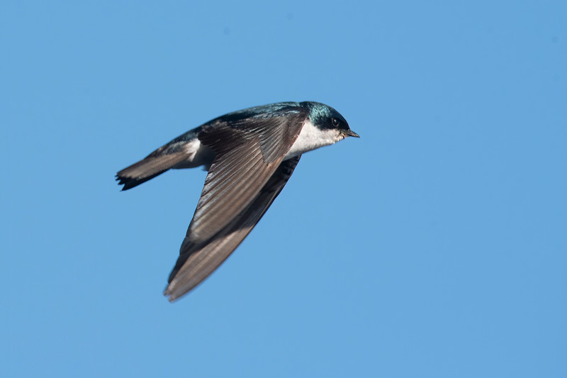 The Tree Swallows that nest at our lake home are very fast and erratic flyers.  I'm always happy when I can get a flight shot of one of them.