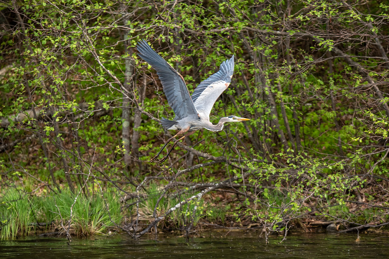 Here are some photos of birds in flight taken this summer.  <br /> <br /> We occasionally have a Great Blue Heron at our lake.  We usually don't even know it's here until we take a boat ride around the lake, and it flies out in front of us as we approach