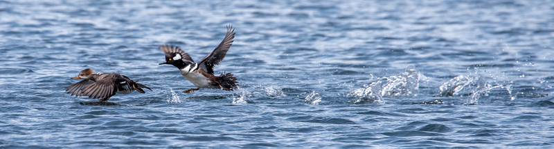 Earlier this summer I posted a photo of this male and female Hooded Merganser.  This photo was taken as they were just getting airborne.  You can see the splashes where their feet hit the water as they were working to lift off.